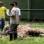 20 kilograms of plastic found in dead giraffe's stomach