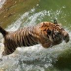 Escaping Tiger Causes Panic in Indonesian Zoo