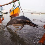 Shocking Photos: Dolphins die for Shark fin Soup