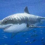 South African surfer attacked by 15 foot shark