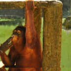 Indonesia's smoking Orangutan to go to rehab