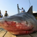 French government to fund shark hunts
