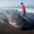 Stranded Whale Shark Dies on Java Beach