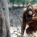 Indonesia's Smoking Orangutan Gives Birth