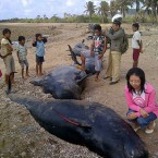 Dozens of pilot whales stranded in eastern Indonesia
