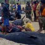 Locals take meat of beached whales for food