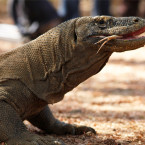 A Komodo dragon walks at the Komodo National Park on Oct. 4, 2011. A tour guide were bitten by a Komodo dragon on Tuesday, while he was trekking with four Indonesian visitors to Rinca island.