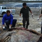 Beached sperm whale dies after eating large amounts of plastic