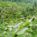 rice-field-ubud
