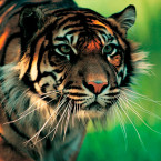 sumatran_tiger