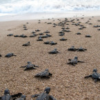 Bali Governor pledges to stop turtle slaughter