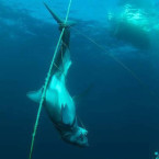 Diver finds dead mako shark, strung up and stabbed