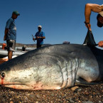 Joint project saves Bali's sharks