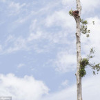 Pregnant orangutan clinging to the last remaining tree after bulldozers clear jungle to make way for oil plantation