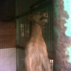 African Lion Strangled in Surabaya Zoo