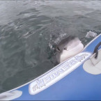 Video: Great White Shark Attacks Inflatable Boat