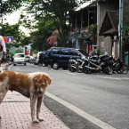 Bali Governor Asks that Free-Roaming Dogs be Eliminated