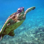 Food Stall in Bali Arrested for Purchase and Sales of Green Turtle Meat