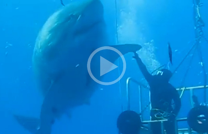Video: Is This The Biggest Great White Shark Ever?