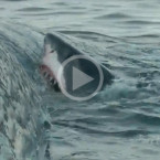 Video: Five Hungry Sharks Eat Whale Carcass