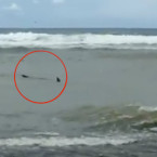 Video: Another Shark Sighting in Bali