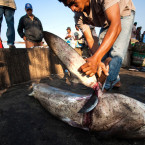 Indonesia is One of Largest Exporter of Shark fins