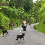 Bali Island of The Dogs