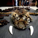 Four Arrested in Jambi for Possession of Sumatran Tiger Skin