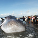 Dead Sperm Whale Washes Up on Bali Beach