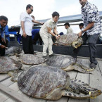 45 Poached Sea Turtles Seized in Bali