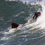 Whale Plays in The Swell With Surfers in South Africa