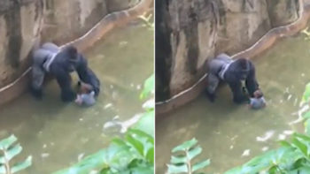 Cincinnati Zoo Gorilla Shot Dead As Boy Falls Into Enclosure