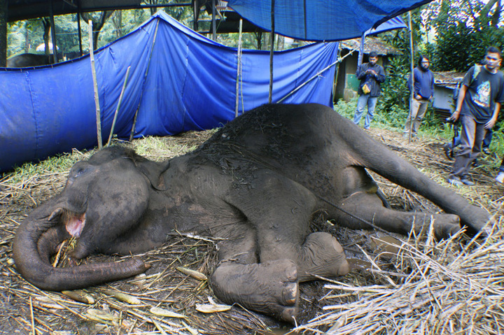 Sumatran Elephant in Bandung Zoo Dies After Not Receiving Medical Attention