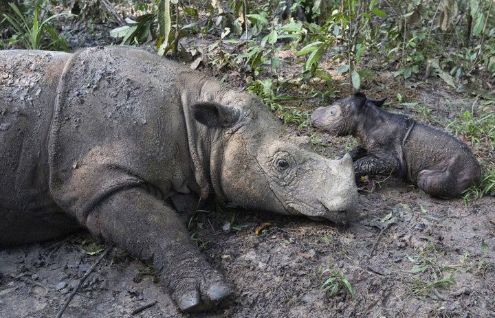 Rare Sumatran Rhino Born in Indonesia