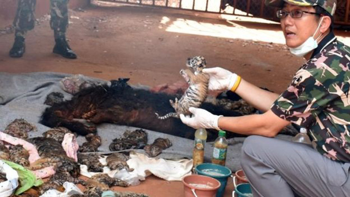 Forty Dead Tiger Cubs Found in a Freezer at a Thailand Temple