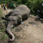 Elephant Population in Sumatra Shrinks Drastically