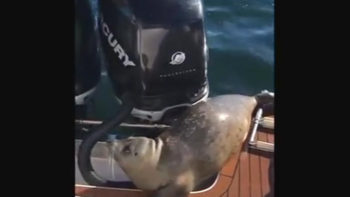 Video: Hunting Orcas Miss Easy Meal When Seal Jumps Onto Boat