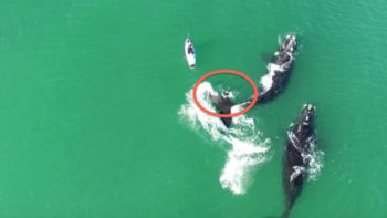Surfer Discovers Why Touching a Whale is a Bad Idea