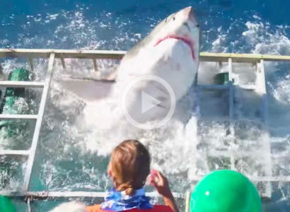 Video: Great White Shark Breaks Into Diver's Cage in Mexico