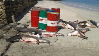 Thresher Sharks Carcass Found in Nusa Penida Allegedly Used for Illegal Shark Fin Trade