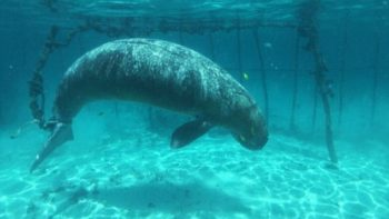 Dugong Discovered Chained in Underwater Cages in Indonesia