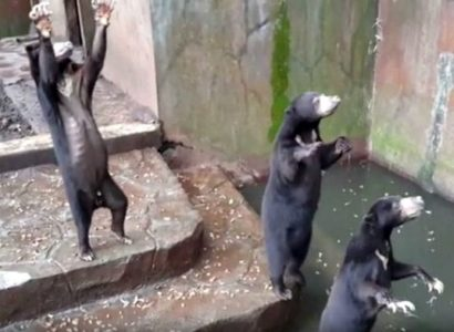 Starving Bears Beg for Food at Indonesian Zoo