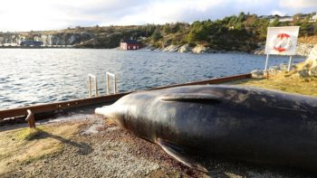 A Whale is Found to Have 30 Plastic Bags in Its Stomach