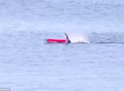 Video: Great White Shark Attacking Kayaker in Monterey Bay