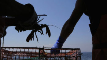 More Than 200.000 Lobster Eggs Almost Smuggled Into Singapore from Indonesia