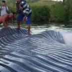 Whale Washed Up on West Seram Beach, Again