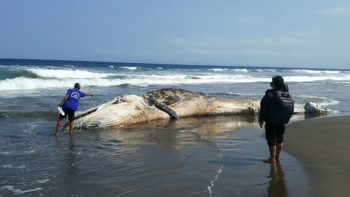 Large Whale Washes Ashore in West Bali
